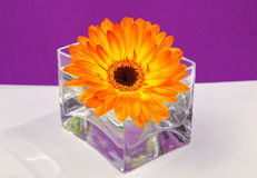 One bright orange gerbera flower in a glass square vase. On purple background Royalty Free Stock Photography