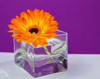 One bright orange gerbera flower in a glass square vase. On purple background Royalty Free Stock Images