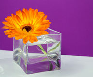 One bright orange gerbera flower in a glass square vase. On purple background Royalty Free Stock Photo
