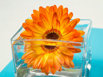 One bright orange gerbera flower in square glass vase. On white and blue background Stock Photos