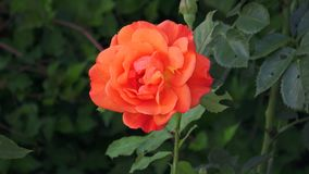 One bright orange rose flower and leaves stock footage