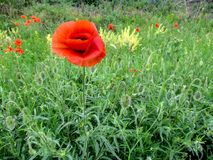 One bright red poppy among vegetation on the field, isolated, close-up. Glade of wild beautiful poppies growing in the field Stock Images