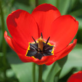 One bright tulip Royalty Free Stock Photography