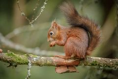 Adorable red squirrel Stock Photography