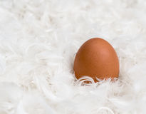 One brown chicken egg on pile of white feathers Stock Photography