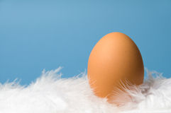 One brown egg with blue background. One brown egg laying on white feathers with blue background Royalty Free Stock Photography