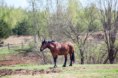 One brown horse standing on meadow Royalty Free Stock Photo