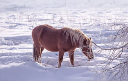 One brown Horse stay in the snowy woods in winter Stock Images