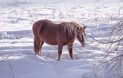 One brown Horse stay in the snowy woods in winter Royalty Free Stock Photo