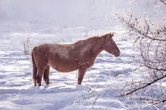 One brown Horse stay in the snowy woods in winter Stock Photo