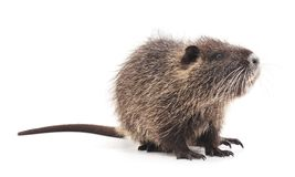 One brown nutria. One brown nutria on a white background Royalty Free Stock Photo