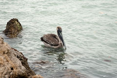 One brown pelican hunting for fish in ocean Stock Photos