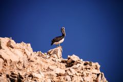 One Brown Pelican,Pelecanus occidentalis, Isla de Ballestas, Peru Royalty Free Stock Photos
