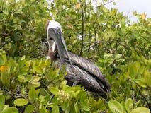 Brown Pelican, Pelecanus occidentalis urinator, resting on mangrove vegetation Galapagos, Santa Cruz, Ecuador. Royalty Free Stock Photo