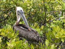 Brown Pelican, Pelecanus occidentalis urinator, resting on mangrove vegetation Galapagos, Santa Cruz, Ecuador. Royalty Free Stock Photos