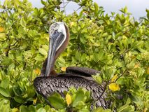 Brown Pelican, Pelecanus occidentalis urinator, sitting on mangrove over the sea in the Galapagos, Santa Cruz, Ecuador. Stock Photos