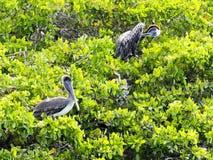 Brown Pelican, Pelecanus occidentalis urinator, sitting on mangrove over the sea in the Galapagos, Santa Cruz, Ecuador. Stock Photo