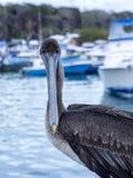 Brown Pelican, Pelecanus occidentalis urinator, is a subspecies living in the Galapagos, Santa Cruz,  Ecuador. Royalty Free Stock Images