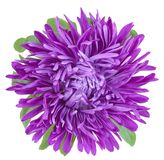 One Bud purple asters. One of butok flower purple asters with ray petals closeup isolated on white background Stock Photography
