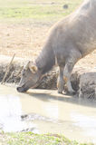 One buffalo is drinking some water Stock Photos