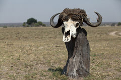 One buffalo skull on sticks. Namibia national park Stock Photography