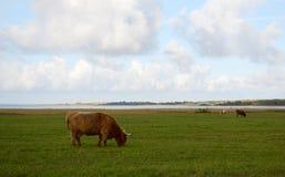 One bull on green autumn field Royalty Free Stock Photos