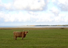One bull on green autumn field Royalty Free Stock Images