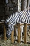 One burchell zebra eating. Single burchell zebra eating dry hay in zebra stable, beautiful animal Stock Image