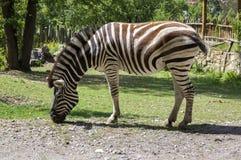One burchell zebra on pasture. Burchell zebra on pasture, mammal eating green grass, greenery around Royalty Free Stock Image