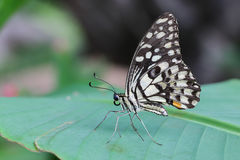 one butterfly on banana leaf Stock Photography