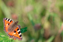 One butterfly on a flower on a blurred background. Beautiful butterfly on a flower on a blurred green background royalty free stock photo