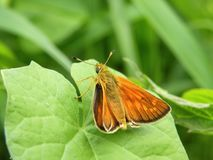 One butterfly on green leaf, Lithuania Royalty Free Stock Photography