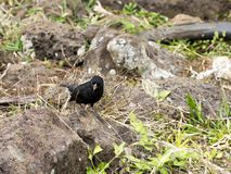 Cactus Ground Finch, Geospiza scandens, is specialized in the feeding of seeds opuntia, San Cristobal, Galapagos, Ecuador. One Cactus Ground Finch, Geospiza Royalty Free Stock Photo