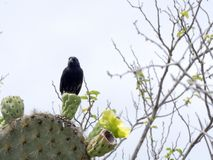 Cactus Ground Finch, Geospiza scandens, is specialized in the feeding of seeds opuntia, San Cristobal, Galapagos, Ecuador. One Cactus Ground Finch, Geospiza Royalty Free Stock Photos