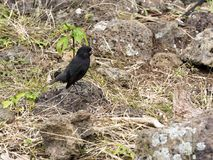 Cactus Ground Finch, Geospiza scandens, is specialized in the feeding of seeds opuntia, San Cristobal, Galapagos, Ecuador. One Cactus Ground Finch, Geospiza Stock Photo