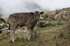 One calf in the pasture Stock Image