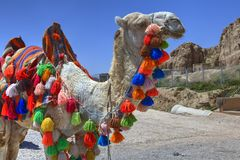 Home camel is decorated with tassels of different colors, Iran. Stock Photos