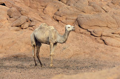 One camel in a desert in Egypt Stock Photos