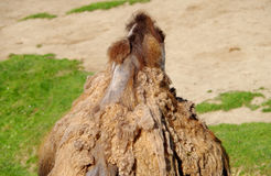 One camel hump Royalty Free Stock Image