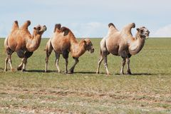One camel in mongolia Royalty Free Stock Photos