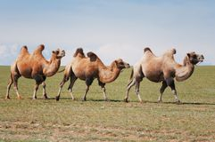 One camel in mongolia Stock Photography