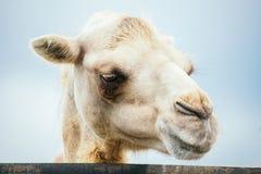 One camel portrait. Portrait of white camel female stock photography