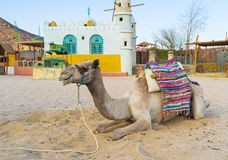One camel Stock Images