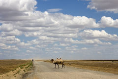One camel on the road.  Stock Photography