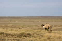 One camel in a steppe Stock Image