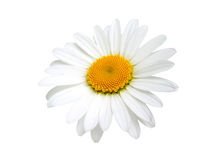 One camomile. Isolated on white background Royalty Free Stock Image