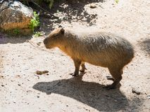 One Capybara - Hydrohoerus hydrohoeris - stands on the ground and  rests on a sunny day. One Capybara - Hydrohoerus hydrohoeris - stands on the ground and rests Stock Images