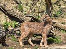 Caracal, Caracal caracal, is a very agile cat. One Caracal, Caracal caracal, is a very agile cat Stock Photo