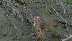 One cat bengal walks on the green grass. Bengal kitty learns to walk along the forest. Asian leopard cat tries to hide royalty free stock photos