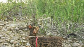 One cat bengal walks on the green grass. Bengal kitty learns to walk along the forest. Asian leopard cat tries to hide stock photography
